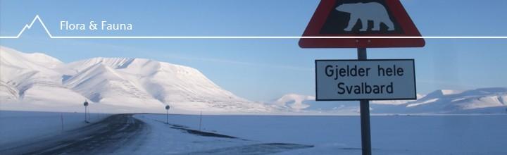 Tierspuren der besonderen Art: Ursus maritimus, Eisbären auf Svalbard